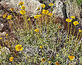 Encelia virginensis 6.jpg