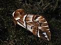 Endromis versicolora ♂ - Kentish glory (male) - Берёзовый шелкопряд (самец) (25986437557).jpg