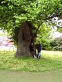English Elm Preston Park Brighton.jpg