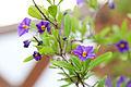 Enzianstrauch (Solanum) (18789827032).jpg