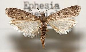 Mehlmotte (Ephestia kuehniella), Präparat