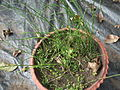 Equisetum arvense-2-yercaud-salem-India.JPG