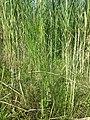 Equisetum telmateia (subsp. telmateia) sl10.jpg