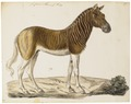 Equus quagga - 1700-1880 - Print - Iconographia Zoologica - Special Collections University of Amsterdam - UBA01 IZ21700015.tif
