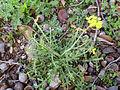 Erucastrum nasturtiifolium Habitus 2011-2-26 CampodeCalatrava.jpg