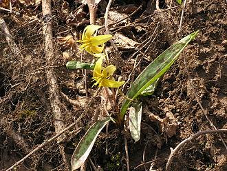 Erythronium - Image: Erythronium americanum 002