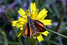Essex skipper butterfly (Thymelicus lineola) female.JPG