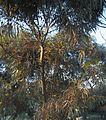 Eucalyptus globosus 4 Habitus Sousse 2009.jpg