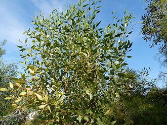 Eucalyptus incrassata - Image: Eucalyptus incrassata