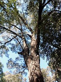 Eucalyptus paniculata Eastwood