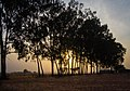 Eucalyptus trees.jpg