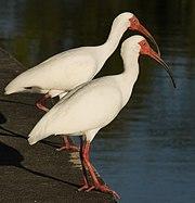 Eudocimus albus duo.jpg
