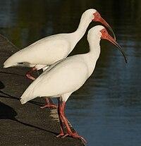 Eudocimus albus duo