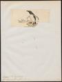 Eudyptes magellanica - 1845-1863 - Print - Iconographia Zoologica - Special Collections University of Amsterdam - UBA01 IZ17800241.tif