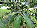 Eugenia cumini (Malabar plum) tree in RDA, Bogra 03.jpg