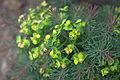 Euphorbia cyparissias flower.jpg