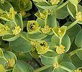 Euphorbia myrsinites13 ies.jpg