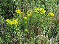 Euphorbia palustris sl4.jpg