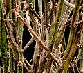 Euphorbia platyclada platyclada6 ies.jpg