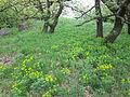 Euphorbia polychroma sl4.jpg