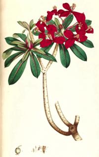 Euphorbia punicea SmSo