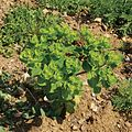 Euphorbiahelioscopia.jpg