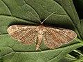 Eupithecia simpliciata - Plain pug - Цветочная пяденица лебедовая (40908508052).jpg