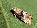 Eupoecilia ambiguella - Vine moth (27450722618).jpg