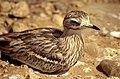 Eurasian Stone-curlew (Burhinus oedicnemus) nesting ... (36182780496).jpg