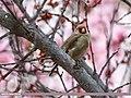 European Goldfinch (Carduelis carduelis) (46526925712).jpg