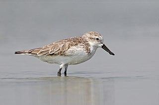 Spoon-billed sandpiper Species of bird