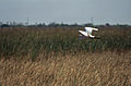 Everglades51(js)-Great Egret.jpg