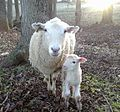 Ewe and lamb taken at the NCSU Small Ruminant Educational Unit.jpg