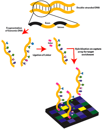 Exome sequencing - Exome sequencing workflow: part 1.