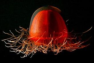 Trachylinae - Crossota sp.