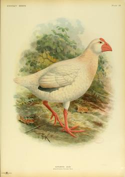 Extinctbirds1907 P33 Notornis alba0357.png