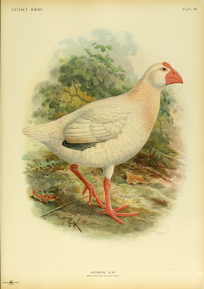 Description de l'image  Extinctbirds1907 P33 Notornis alba0357.png.