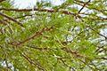 Fabaceae sp.-CTJ-IMG 6660.jpg