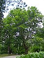 Fagus orientalis-dkrb(1)-1.jpg