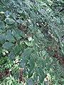 Fagus sp. Fagaceae 03.jpg