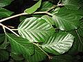 Fagus sylvatica 'atropurpurea pendula' leaves 01 by Line1.jpg