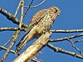 Falco tinnunculus (Falconidae) (Common Kestrel), Elst (Gld), the Netherlands - 2.jpg