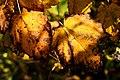 Fall Cluster (1652858157).jpg