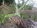 Fallet träd i Onslunda, januari 2005.jpg