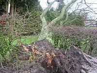 arbre abattu par la tempête