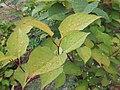 Fallopia japonica japonica 03.jpg