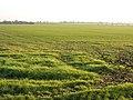 Farmland south of Oakington, Cambs - geograph.org.uk - 89380.jpg