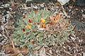 Faucaria tigrina - San Luis Obispo Botanical Garden - DSC06097.JPG