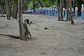 Fauna terrestre de Barbados 001.jpg