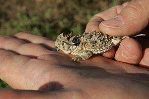 Horned lizard - Texas horned lizard